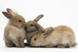Young Sandy Rabbits Photographie par Mark Taylor