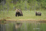 Eurasian Brown Bear (Ursus Arctos) Mother with Cubs, Suomussalmi, Finland, July 2008 Photographic Print by  Widstrand