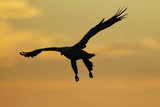 White Tailed Sea Eagle (Haliaeetus Albicilla) in Flight Silhouetted Against an Orange Sky, Norway Photographic Print by  Widstrand