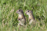 Two Young European Sousliks (Spermophilus Citellus) Alert, Eastern Slovakia, Europe, June 2009 Photographic Print by  Wothe