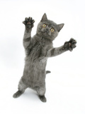 Grey Kitten, Standing, Reaching Out Photographic Print by Mark Taylor