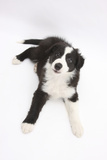 Border Collie Lying Photographic Print by Mark Taylor