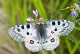 Apollo Butterfly (Parnassius Apollo) on Flowers, Fliess, Naturpark Kaunergrat, Tirol, Austria Photographic Print by  Benvie