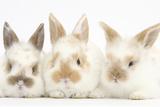 Three Cute Baby Rabbits in a Row Papier Photo par Mark Taylor