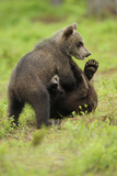 Eurasian Brown Bear (Ursus Arctos) Cubs Fighting While Playing, Suomussalmi, Finland, July 2008 Photographic Print by  Widstrand