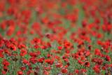 A Field of Poppies, Lesser Lake Prespa, Lake Prespa National Park, Albania, June 2009 Photographic Print by  Geidemark