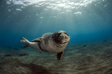 Male Monk Seal (Monachus Monachus) Portrait, Deserta Grande, Desertas Islands, Madeira, Portugal Photographic Print by  Sá
