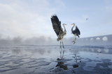Two Grey Herons (Ardea Cinerea) Squabbling over Fish, River Tame, Reddish Vale Country Park, UK Photographic Print by Terry Whittaker