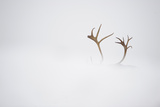 Reindeer (Rangifer Tarandus) Antlers, Body Hidden by Snow, Forollhogna Np, Norway, September 2008 Photographic Print by  Munier