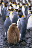 King Penguin Chick Standing with Adults Photographic Print by Paul Souders