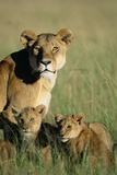 Lioness Sitting with Cubs Photographic Print by Paul Souders