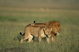 Male and Female Lion in Grass Photographic Print by Paul Souders