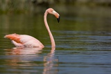 American Flamingo in Water Photographic Print by Paul Souders
