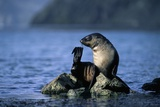 Antarctic Fur Seal Resting on Rock Photographic Print by Paul Souders