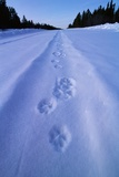 Animal Tracks Near Alaska Highway Photographic Print by Paul Souders