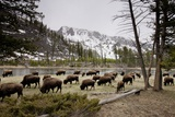 American Bison Herd Grazing in Yellowstone National Park Photographic Print by Paul Souders