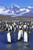 King Penguin Colony Fotografisk tryk af Paul Souders