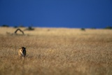 Lone Lioness in Savanna Photographic Print by Paul Souders