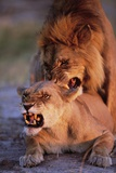 Lions Snarling While Mating Stampa fotografica di Paul Souders