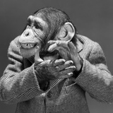 1950s-1960s Monkey Chimp Chimpanzee Dressed Business Sport Jacket Clapping Hands Photographie