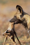 African Wild Dog Carrying Dead Impala Calf Photographic Print by Paul Souders