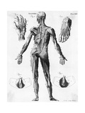 Anatomical Illus. of Human Muscles Giclee Print
