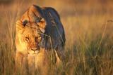 Lioness Walking Through Grass Fotodruck von Paul Souders