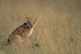 Lion Cub Sitting in Grass Photographic Print by Paul Souders