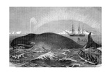 Illustration of Men Attacking Whale with Hand Harpoon Giclee Print