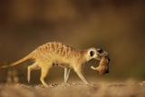 Meerkat Carrying Yearling in Mouth Photographic Print by Paul Souders