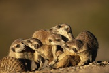 Meerkat Pack in Namibia Photographic Print by Paul Souders