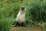 Antarctic Fur Seal Standing by Tussock Grass Photographic Print