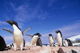 Adelie Penguin Rookery on Petermann Island in Antarctica Photographic Print by Paul Souders