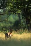 Impala in the Morning Light Fotografisk tryk af Paul Souders