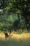 Impala in the Morning Light Photographic Print by Paul Souders