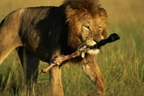 Lion with Wildebeest Leg in Mouth Photographic Print by Paul Souders