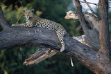 Adult Female Leopard Lying in Tree Photographic Print by Paul Souders