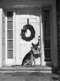 1930s German Shepherd Dog Sitting Front Door Stoop Porch Holding Christmas Package in His Mouth Photographic Print