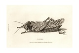 Illustration of Locust Giclee Print