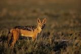 Alert Jackal Photographic Print by Paul Souders