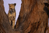Adult Male Leopard in Tree Photographic Print by Paul Souders