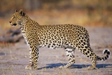Adult Female Leopard Fotodruck von Paul Souders