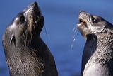 Antarctic Fur Seals Photographic Print by Paul Souders