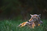 Coyote Lounging in Alpine Meadow Photographic Print by Paul Souders