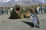 Southern Elephant Seal Barking at Penguin Chick Photographic Print by Paul Souders