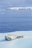 Weddell Seal Resting on Iceberg Photographic Print by Paul Souders