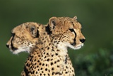 Two Cheetahs Photographic Print by Paul Souders
