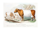Somerset Cows Giclee Print