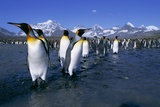 Colony of King Penguins Photographic Print by Paul Souders