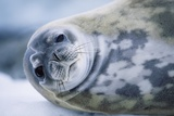 Weddell Seal Stampa fotografica di Paul Souders